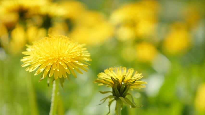 contemporary dandelion head floral - photo #25