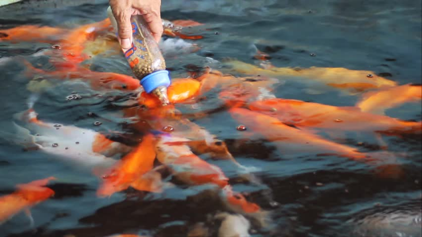 Feeding koi stock footage video 4218553 shutterstock for Feeding koi carp