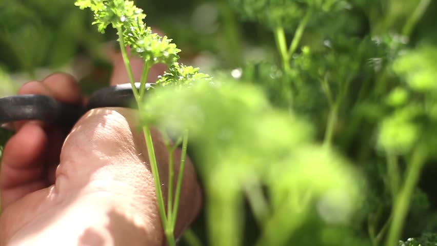 Hand cutting vegetable. - HD stock video clip