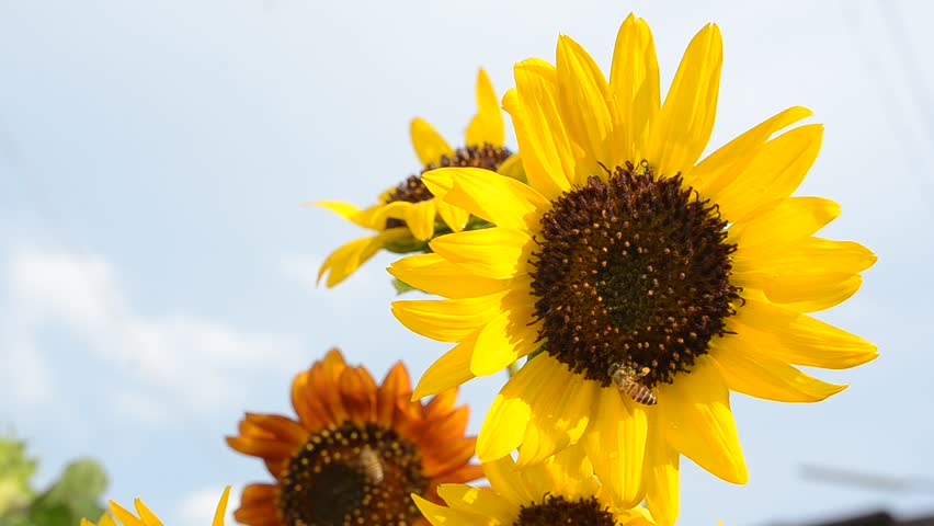 Beautiful Sunflowers In The Garden Stock Footage Video