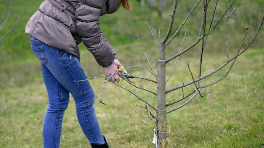 Woman pruning young fruit trees 4K. Low angle shot of female person in jacket, blue jeans, and scissors cutting away branches of very small tree. Green background. - 4K stock footage clip