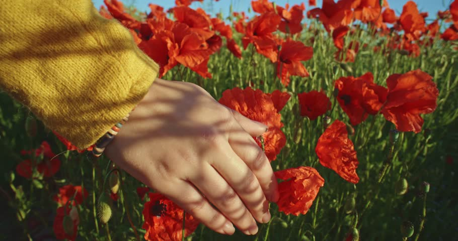 Close-up of woman's hand running through poppies field, crane shot. Slow motion 120 fps. Filmed in 4K DCi resolution. Girl's hand touching red poppy flowers closeup. Love nature concept. - 4K stock video clip