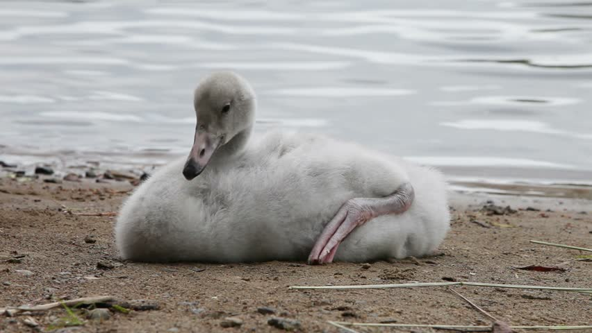 The young swan cleans feathers  - HD stock video clip