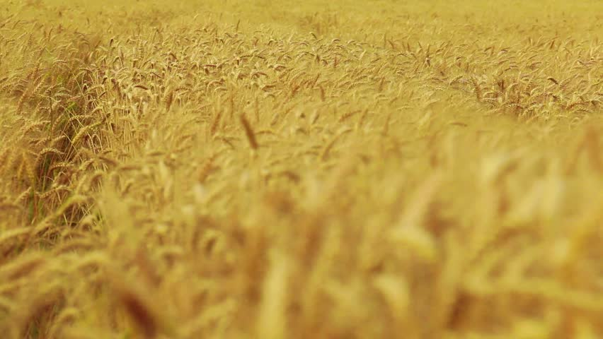 Wheat Blowing in Wind  - HD stock video clip