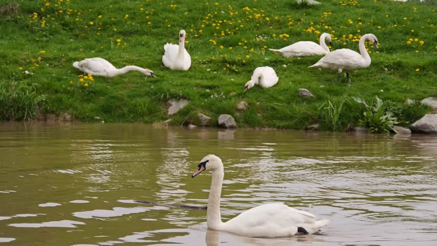 Swan in brown water / swans in the river  - HD stock footage clip