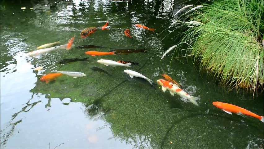 Asian fish and lotus in the pond stock footage video for Koi pond color