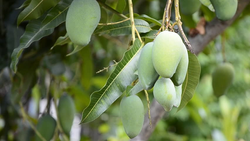 Mangoes On The Tree Stock Footage Video 6273410