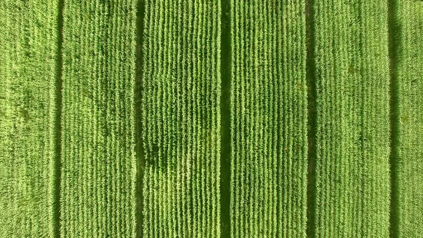 Aerial:Top Shot over the plant field.
