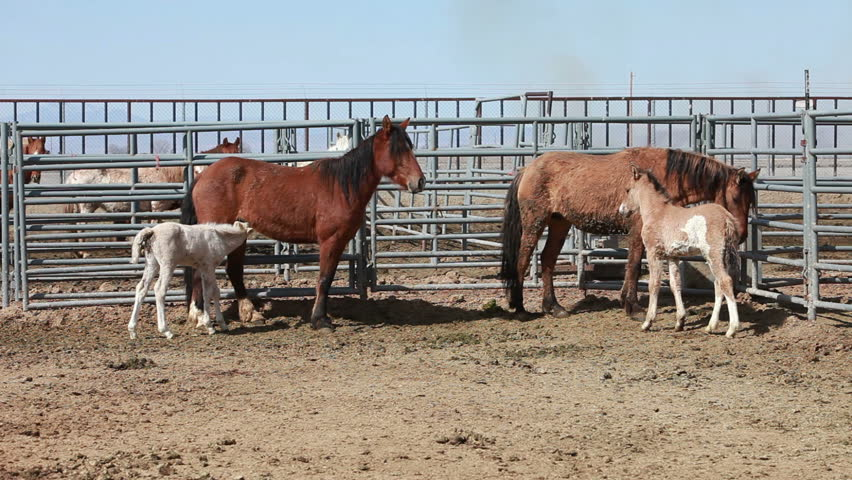 Wild Mustang Horses In Corral After Roundup In Utah And