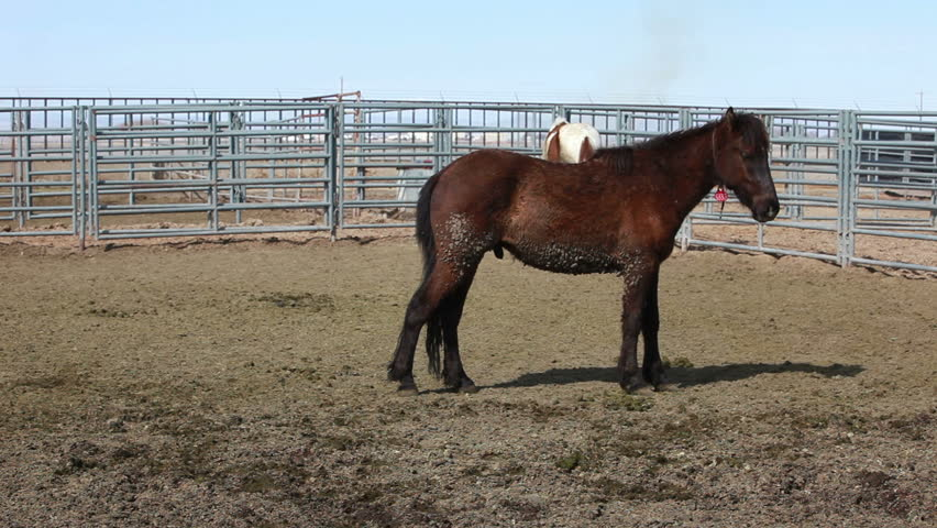 Wild Mustang Horses In Fenced Corral After Roundup In Utah