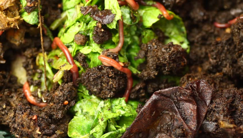 Red wriggler worms feeding on organic material. Closeup of vermicomposting in action. - HD stock footage clip