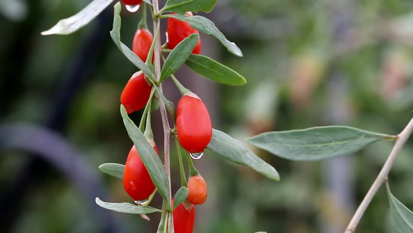 Goji fruits (Lycium barbarum)