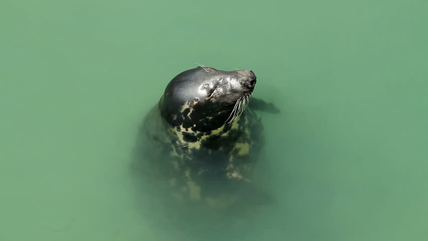 A North Atlantic seal yawning and swimming away.  Newquay harbour, Cornwall. - HD stock video clip