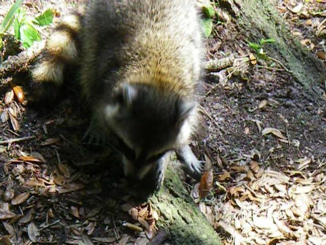 Raccoon Eating in the Wild   Shutterstock HD Video #113206