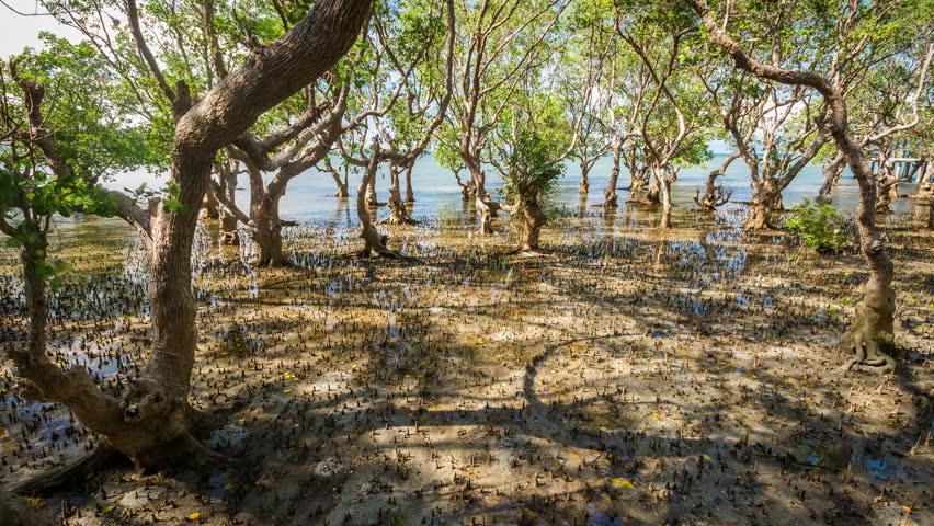 Massive mangrove trees on Philippines, rush and tide timelapse 4k