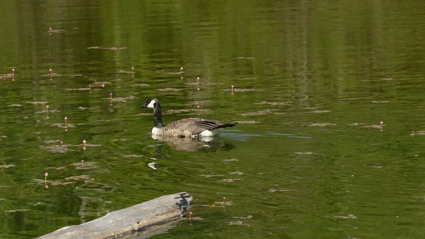 Two Canadian Geese swimming on a lake.