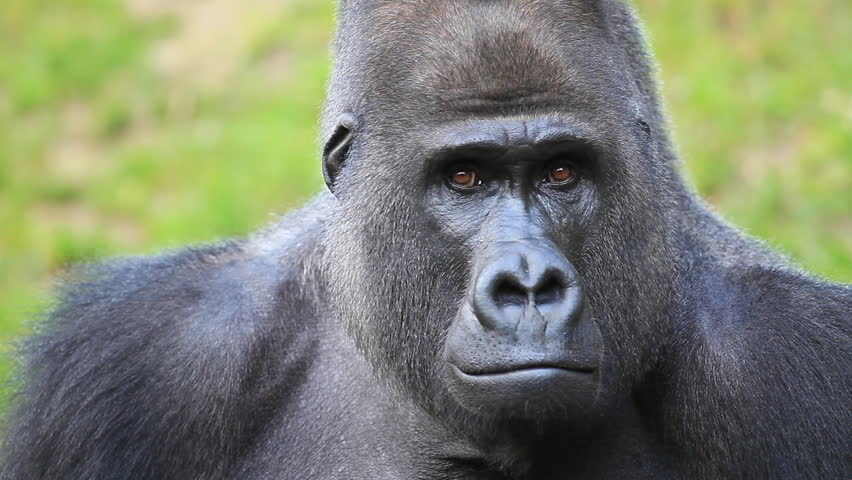 Gorilla face - photo#21