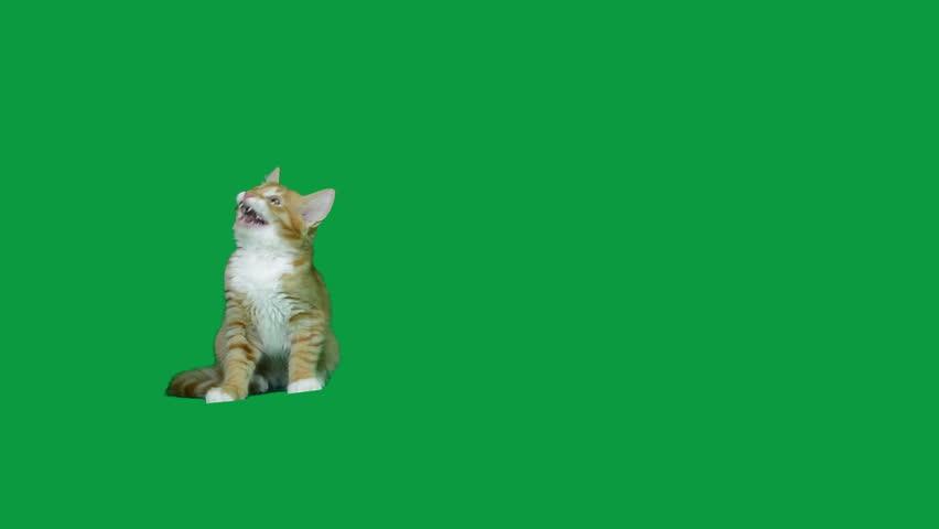 Funny ginger kitten on a green screen
