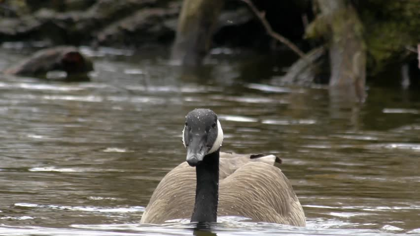 Close up of a goose going feet over head in a pond in search of food. - HD stock footage clip