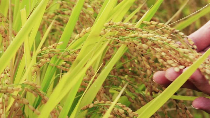 Rice paddies in Japan.