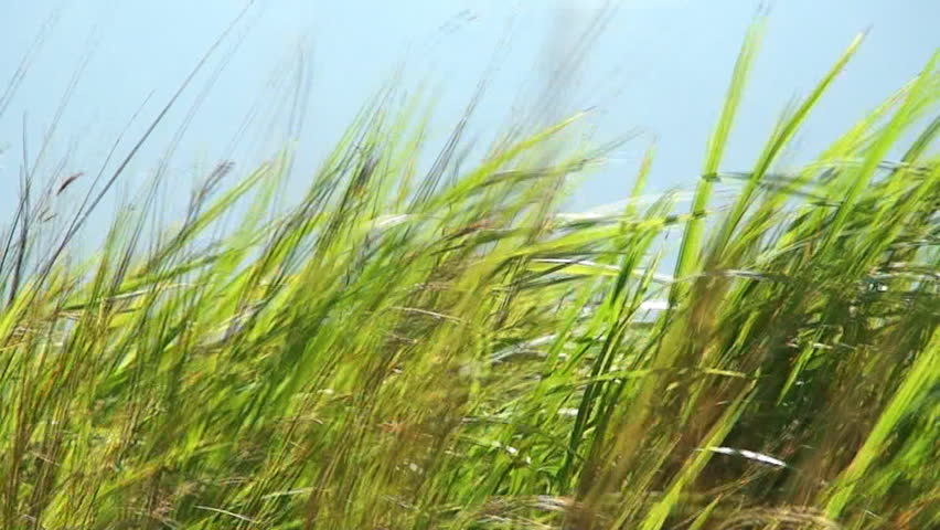 Long green grass moving in the wind on the island of Mindoro in the Philippines - HD stock video clip