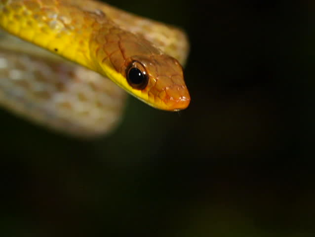 Olive whipsnake (Chironius fuscus). In rainforest, Ecuador - SD stock video clip