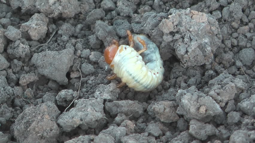 Larva of a may-bug on the earth close-up. - HD stock video clip