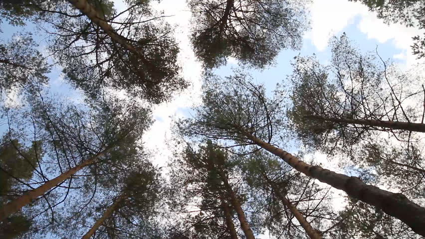pine trees swaying in the wind, sky - HD stock video clip