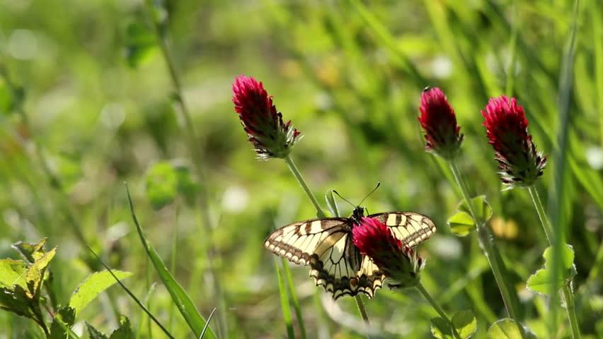 Beautiful swallowtail butterfly sucking nectar - HD stock video clip