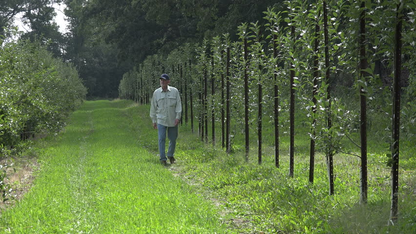 Apple farmer inspecting a row of young apple trees