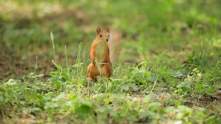 Curious squirrel. Chestnut forest squirrel runs along the ground. #1206823