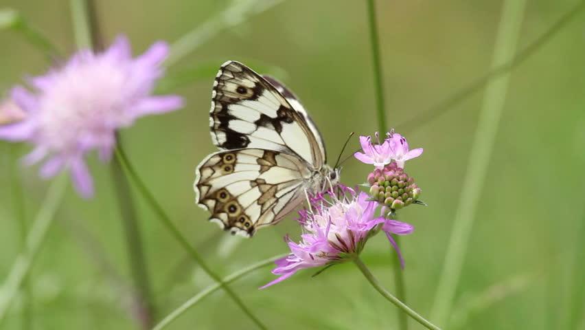 Beautiful butterfly eating breakfast - HD stock video clip