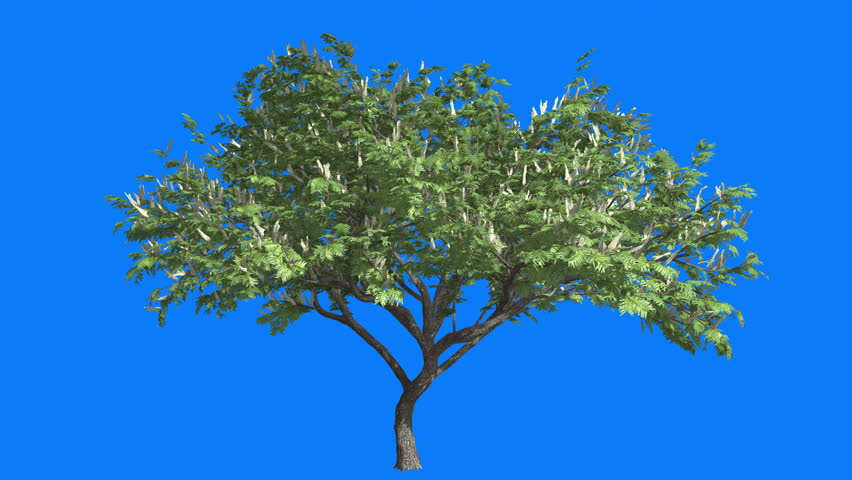 Hook-Thorn, Cromakey, Senegalia Caffra, Chroma Key, Alfa, Blue Background, Tree Swaying at the Wind,Flowers on the Tree, Branches, leaves, Sun Rays, breeze, outdoors, studio, sunny day, spring, - 4K stock video clip