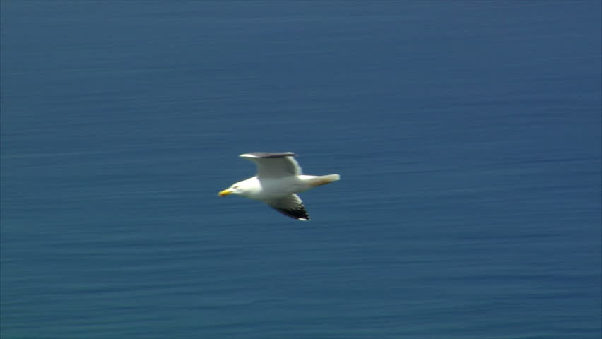elegant seagull fly by close - HD stock footage clip
