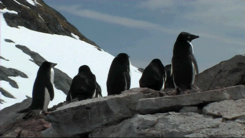 Adelie penguin rookery - SD stock footage clip