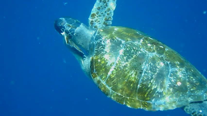 A Green Sea Turtle (Chelonia mydas) eats a jellyfish in the waters of the Galapagos Islands