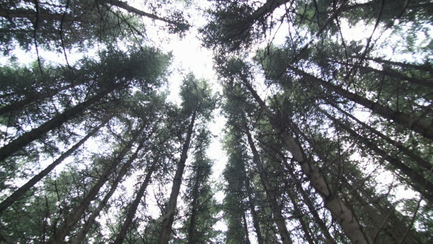 Walking through a mature spruce tree plantation stock for Mature pine trees