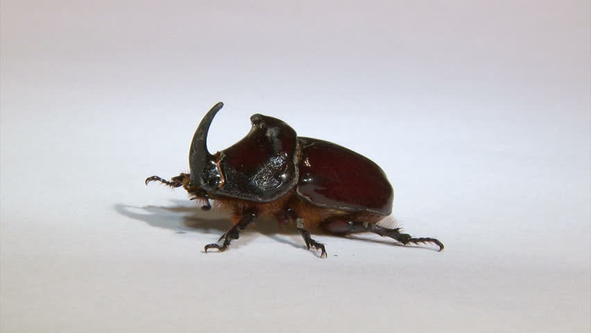 Rhinoceros beetle, isolated on white background. Goes up. - HD stock footage clip