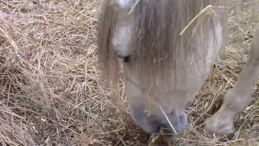 Head of a white horse while eating hay in a barn