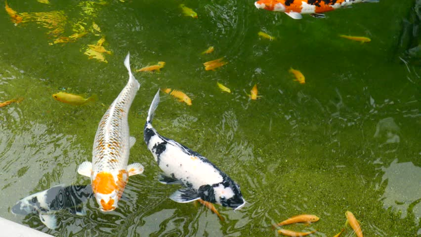 Carp fish koi stock footage video 3470411 shutterstock for Koi fish swimming pool