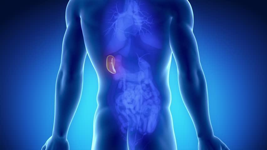 Male spleen anatomy in blue orange x-ray view - HD stock footage clip