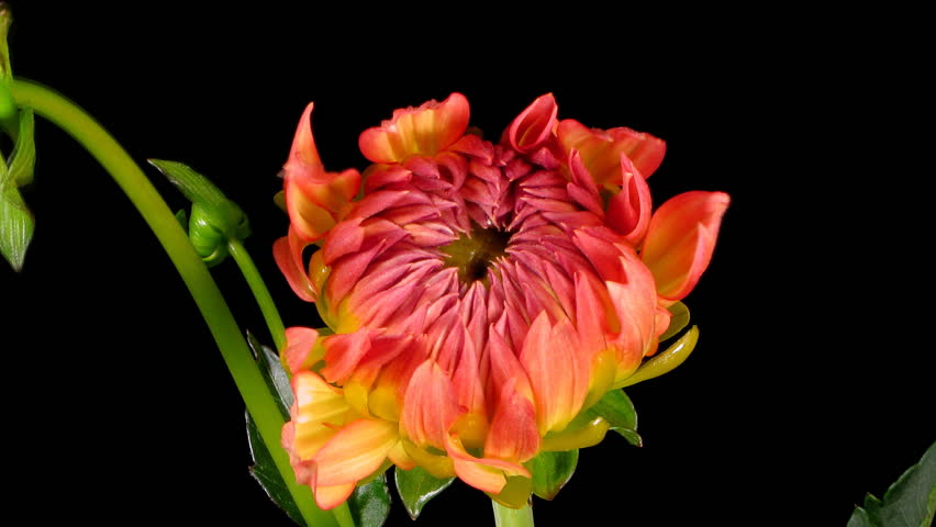 Timelapse of a dahlia(Dahlia sp.) flower blooming. - HD stock footage clip