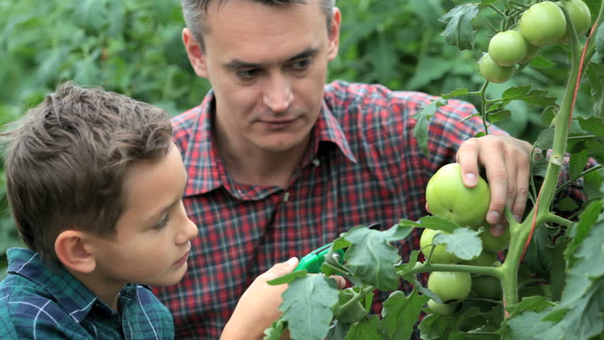 Father telling his son about how to take care of tomato plants