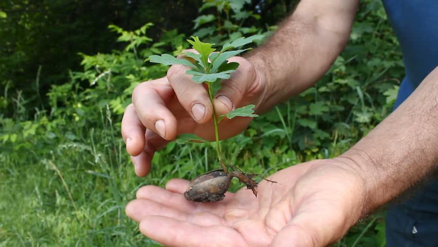 Sapling an oak.