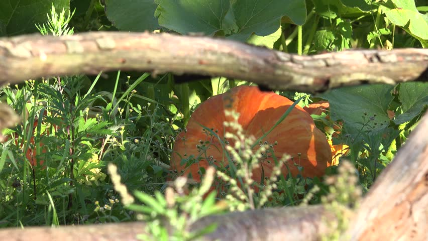 Pumpkin plants growing and greenhouse in farm garden enclosed with wooden fence. Zoom out shot. 4K - 4K stock footage clip