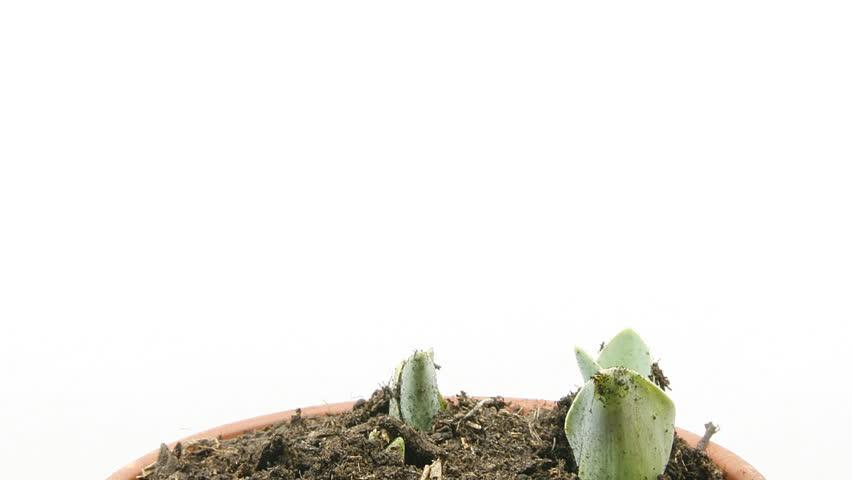 timelapse of growing tulips