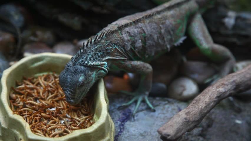 chameleon eating.  - HD stock video clip