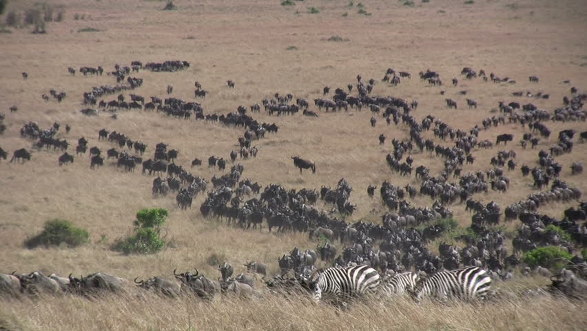 A large herd of wildebeest crosses the savanna. - HD stock video clip