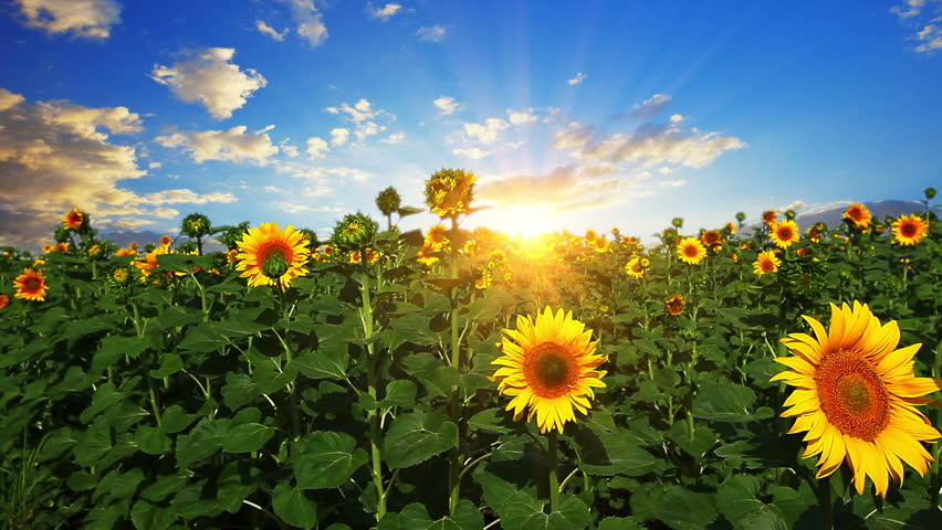 flowering sunflowers on a background sunset - HD stock footage clip