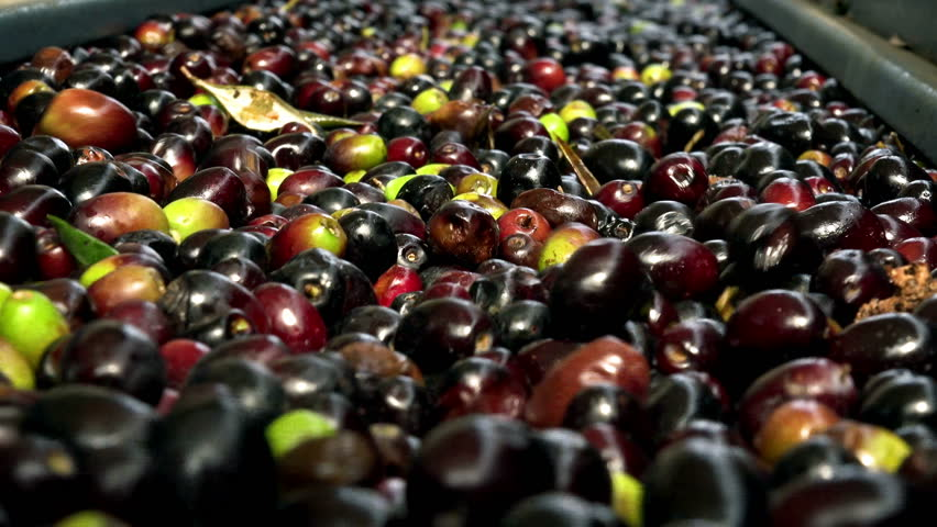 extra virgin olive oil production: conveyor belt of olives in a mill - 4K stock footage clip